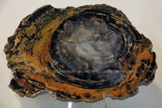 320_02_3905_petrified_wood